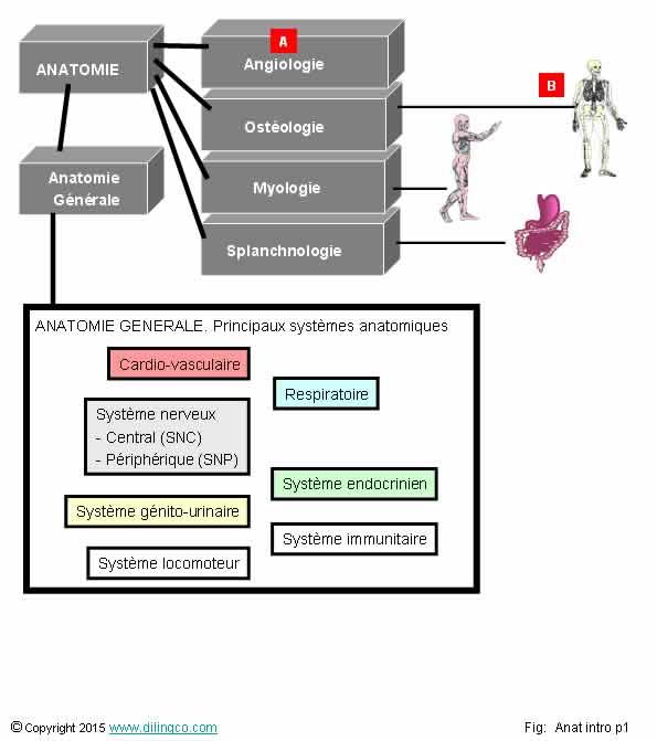 anatomie du membre thoracique