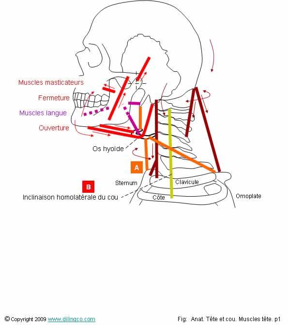 Comment dessiner les muscles for Fenetre mandibulaire