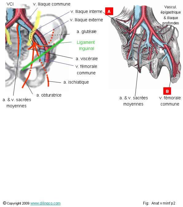 Schema artere iliaque interne