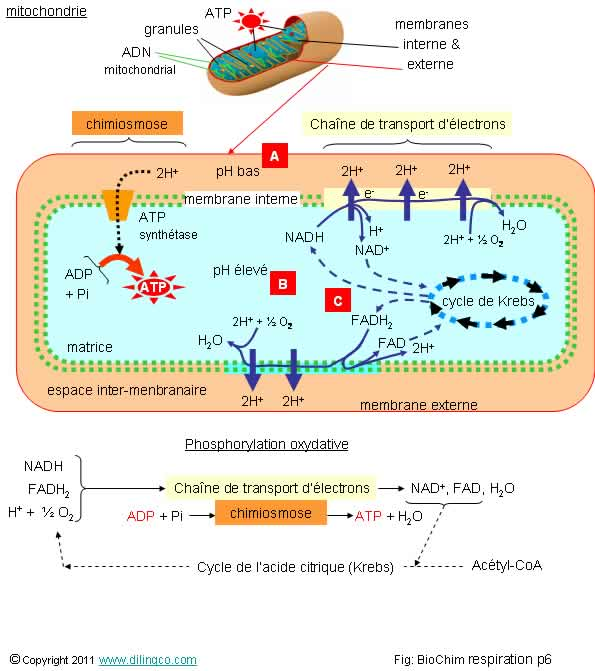 production of atp anabolic or catabolic