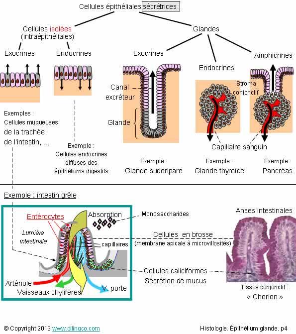 which 2 endocrine glands secretes steroid hormones